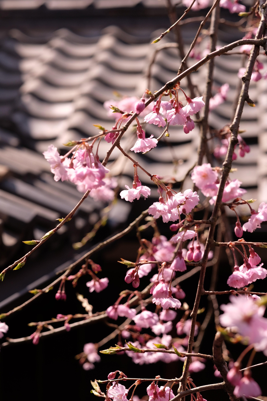 枝垂桜が開花しました。