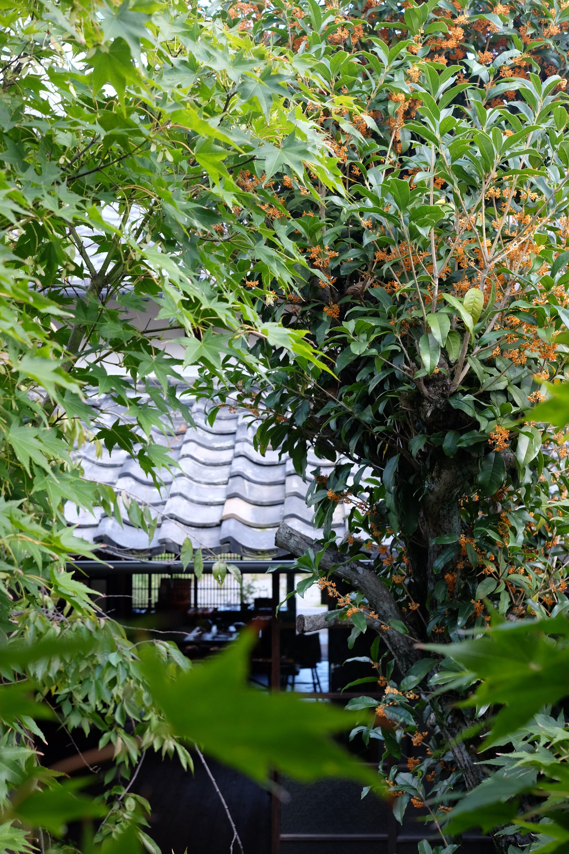 中庭の金木犀