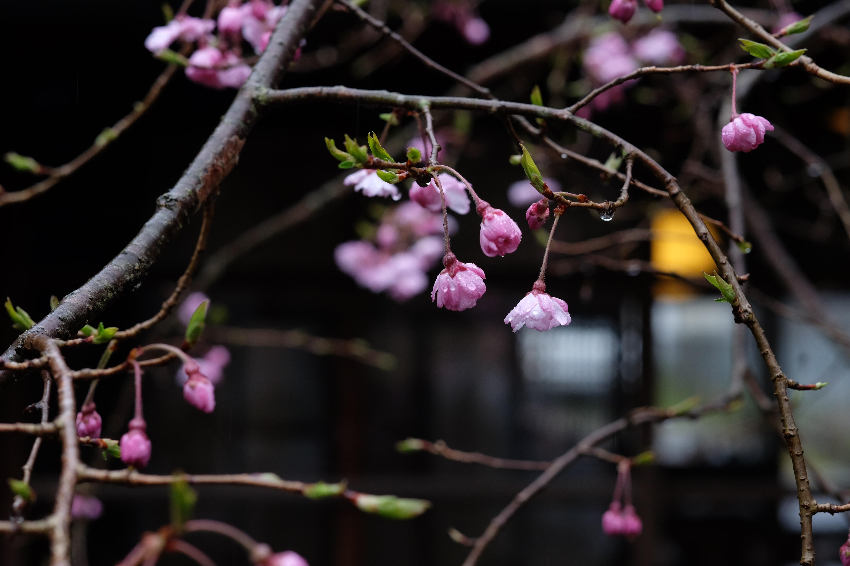 中庭のしだれ桜が咲きました。