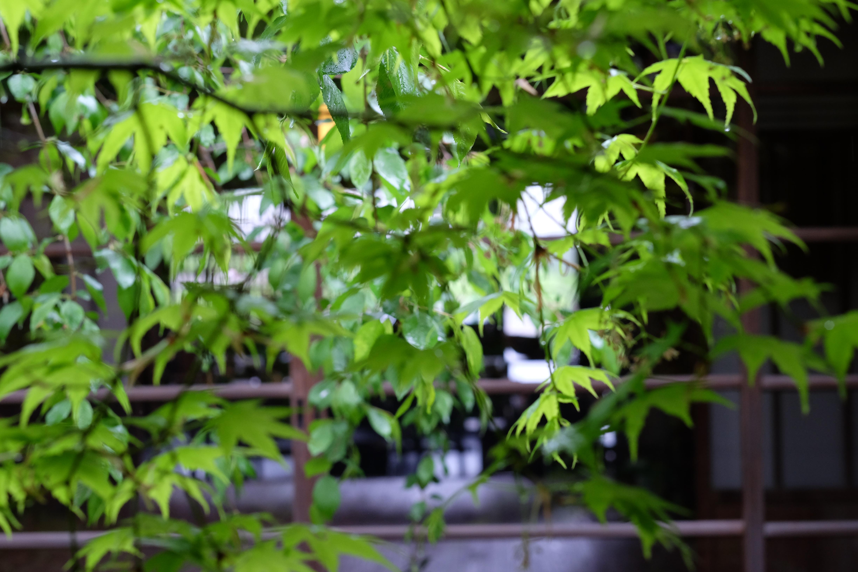 中庭の新緑