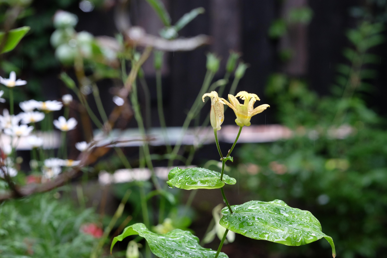 雨あがり、庭に咲いたホトトギス草