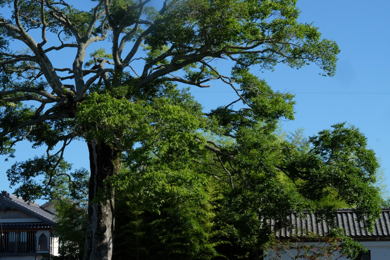 夏本番!ここ西町の樹齢400年エノキと青空