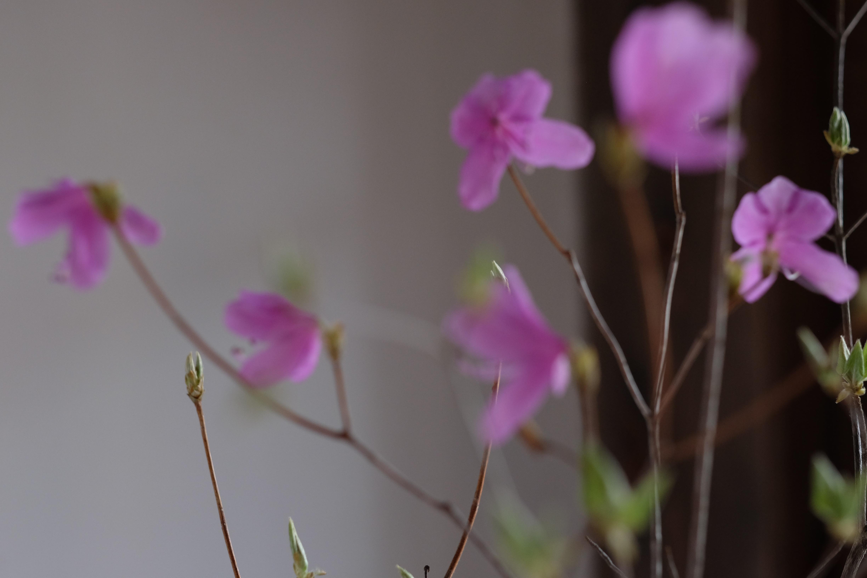 山で咲きだしたピンクのかわいいやつ